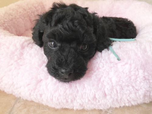 トイプードルの子犬(ID:1251611027)の5枚目の写真/更新日:2018-07-12