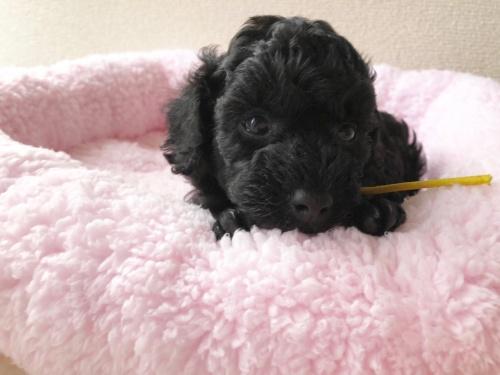 トイプードルの子犬(ID:1251611028)の2枚目の写真/更新日:2018-07-12