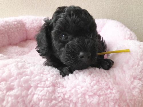 トイプードルの子犬(ID:1251611028)の3枚目の写真/更新日:2018-07-12