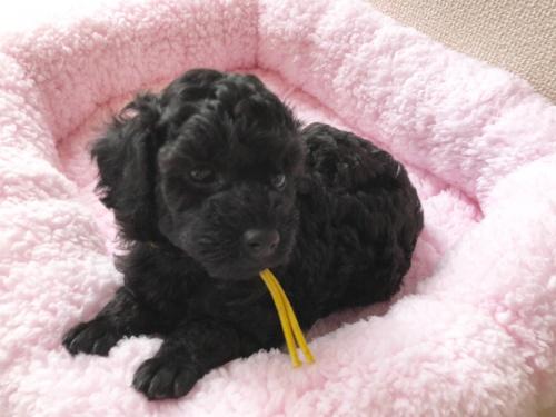 トイプードルの子犬(ID:1251611028)の4枚目の写真/更新日:2018-07-12