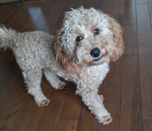 トイプードルの子犬(ID:1251811001)の1枚目の写真/更新日:2018-06-19