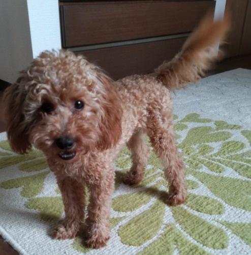 トイプードルの子犬(ID:1251811001)の2枚目の写真/更新日:2018-06-19