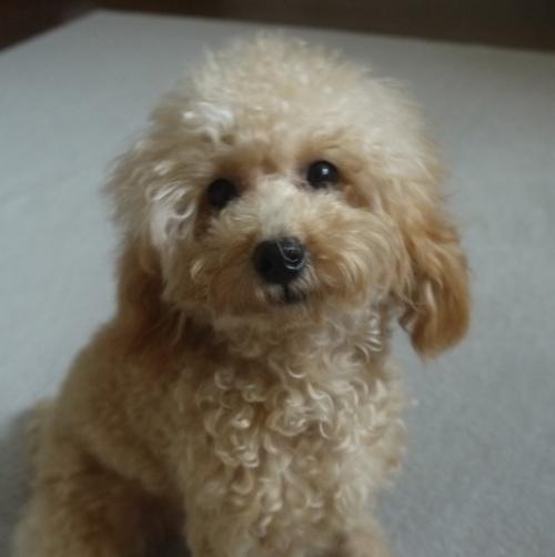 トイプードルの子犬(ID:1251811003)の1枚目の写真/更新日:2018-08-04
