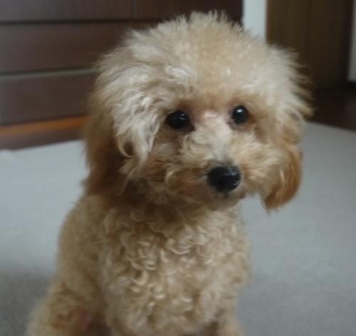 トイプードルの子犬(ID:1251811003)の2枚目の写真/更新日:2018-08-04