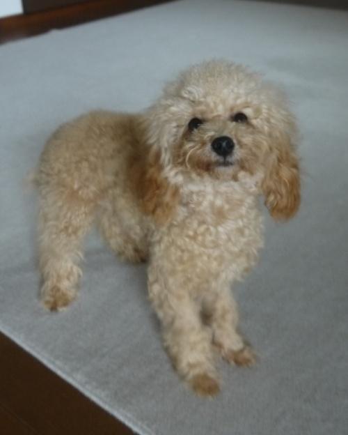 トイプードルの子犬(ID:1251811003)の3枚目の写真/更新日:2018-06-21