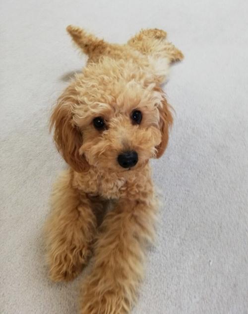 トイプードルの子犬(ID:1251811005)の1枚目の写真/更新日:2018-12-11