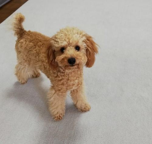 トイプードルの子犬(ID:1251811005)の3枚目の写真/更新日:2018-12-11