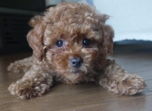 トイプードルの子犬(ID:1251811006)の1枚目の写真/更新日:2018-06-06