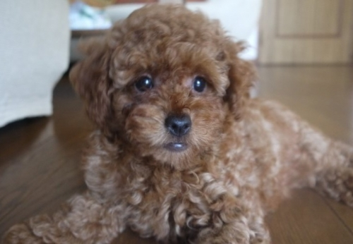 トイプードルの子犬(ID:1251811006)の2枚目の写真/更新日:2018-06-06