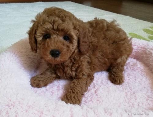 トイプードルの子犬(ID:1251811007)の1枚目の写真/更新日:2018-06-19