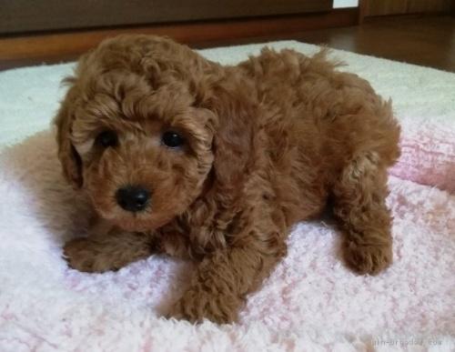 トイプードルの子犬(ID:1251811007)の2枚目の写真/更新日:2018-06-19