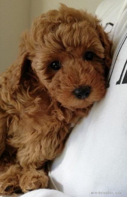 トイプードルの子犬(ID:1251811007)の3枚目の写真/更新日:2018-06-19