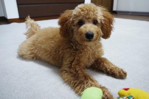 トイプードルの子犬(ID:1251811009)の1枚目の写真/更新日:2018-08-07