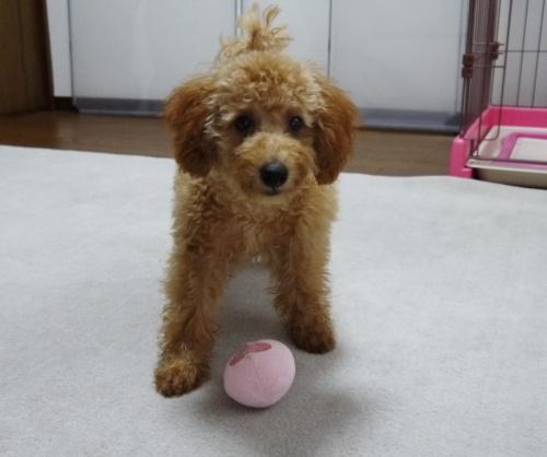 トイプードルの子犬(ID:1251811009)の2枚目の写真/更新日:2018-06-22