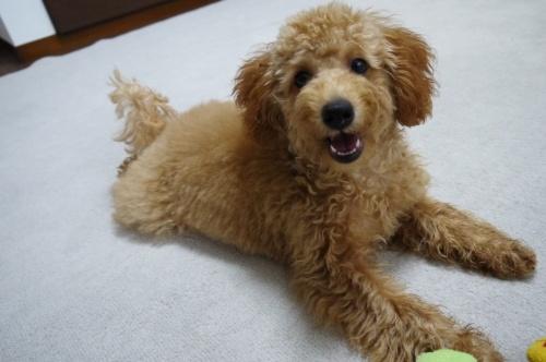 トイプードルの子犬(ID:1251811009)の3枚目の写真/更新日:2018-06-22