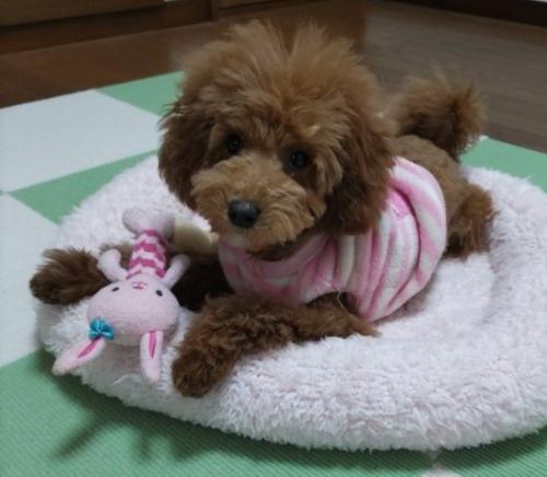 トイプードルの子犬(ID:1251811010)の1枚目の写真/更新日:2019-02-01