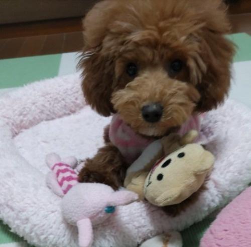 トイプードルの子犬(ID:1251811010)の3枚目の写真/更新日:2019-02-01