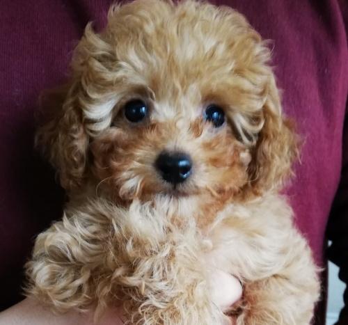 トイプードルの子犬(ID:1251811011)の1枚目の写真/更新日:2019-02-01