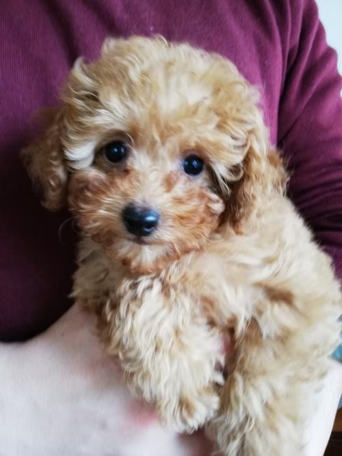 トイプードルの子犬(ID:1251811011)の2枚目の写真/更新日:2019-02-01