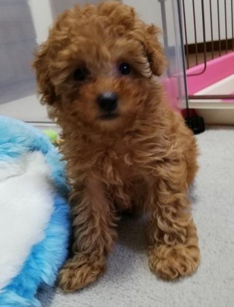トイプードルの子犬(ID:1251811011)の3枚目の写真/更新日:2019-01-25