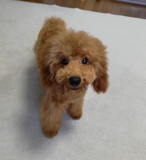 トイプードルの子犬(ID:1251811012)の1枚目の写真/更新日:2019-02-04