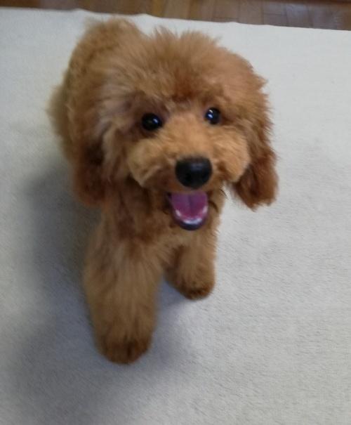 トイプードルの子犬(ID:1251811012)の2枚目の写真/更新日:2019-02-04
