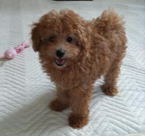 トイプードルの子犬(ID:1251811018)の1枚目の写真/更新日:2019-09-03