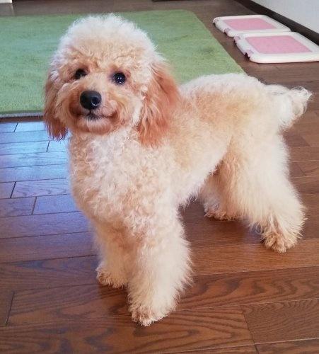 トイプードルの子犬(ID:1251811023)の1枚目の写真/更新日:2019-09-03