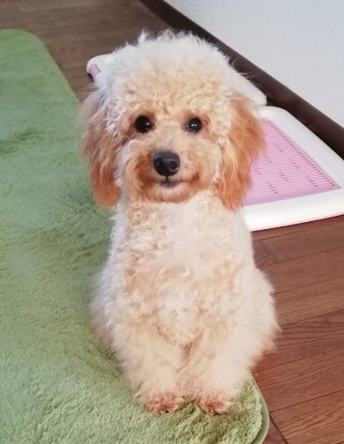 トイプードルの子犬(ID:1251811023)の3枚目の写真/更新日:2019-09-03