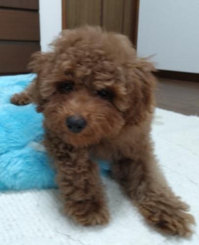 トイプードルの子犬(ID:1251811024)の1枚目の写真/更新日:2020-06-24
