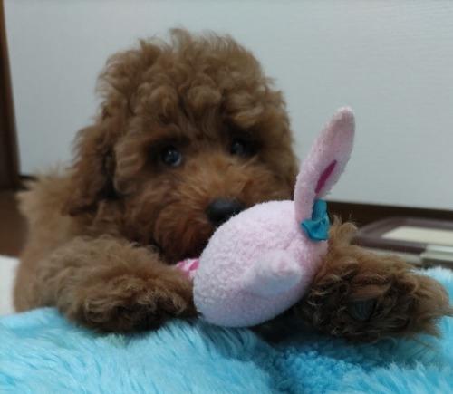 トイプードルの子犬(ID:1251811024)の3枚目の写真/更新日:2020-06-24