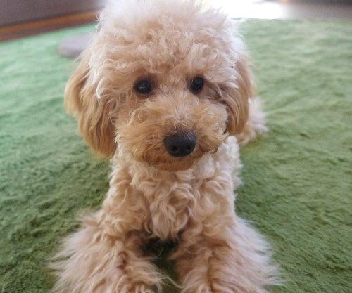 トイプードルの子犬(ID:1251811025)の1枚目の写真/更新日:2019-09-03