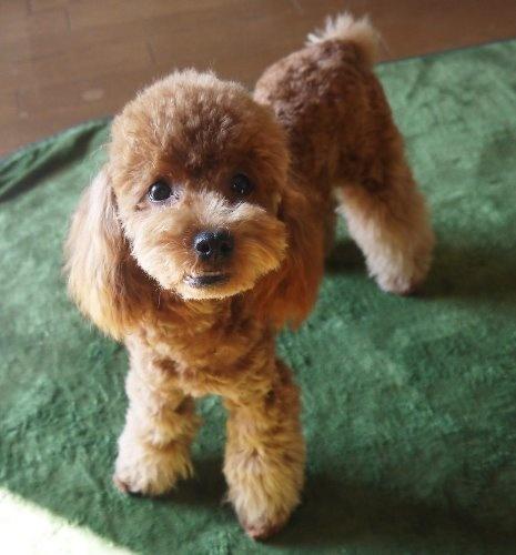トイプードルの子犬(ID:1251811027)の1枚目の写真/更新日:2019-11-14