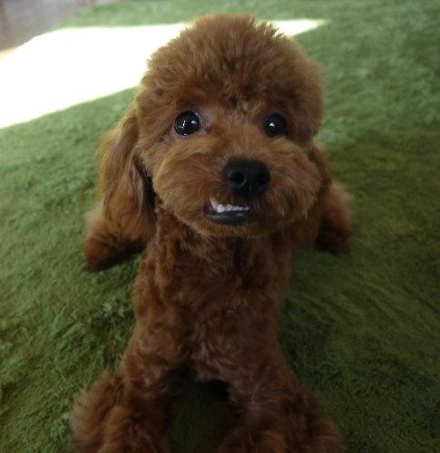 トイプードルの子犬(ID:1251811027)の2枚目の写真/更新日:2019-11-14
