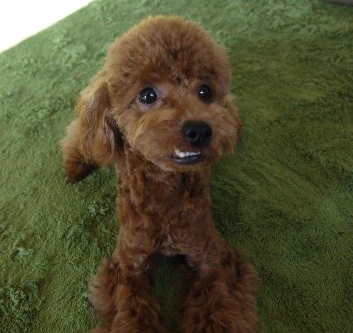 トイプードルの子犬(ID:1251811027)の3枚目の写真/更新日:2019-11-14