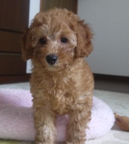 トイプードルの子犬(ID:1251811028)の1枚目の写真/更新日:2017-03-07