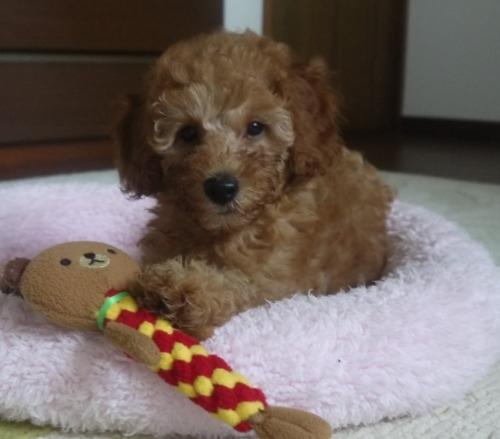トイプードルの子犬(ID:1251811028)の2枚目の写真/更新日:2017-03-07