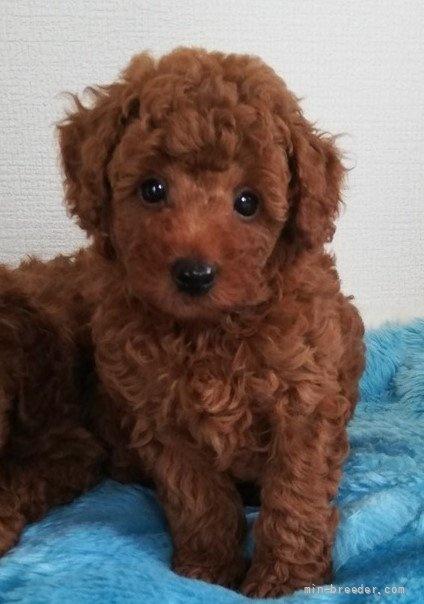トイプードルの子犬(ID:1251811029)の1枚目の写真/更新日:2021-09-13