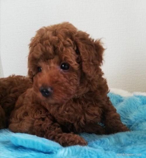 トイプードルの子犬(ID:1251811029)の2枚目の写真/更新日:2017-03-07