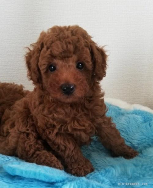 トイプードルの子犬(ID:1251811029)の3枚目の写真/更新日:2017-02-27