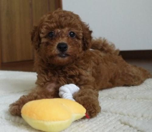 トイプードルの子犬(ID:1251811030)の1枚目の写真/更新日:2020-09-05