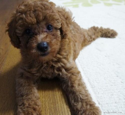 トイプードルの子犬(ID:1251811030)の2枚目の写真/更新日:2020-09-05