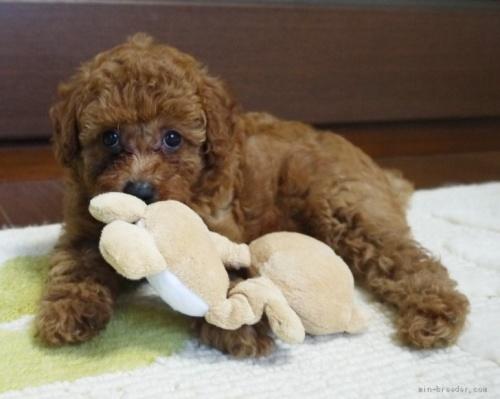 トイプードルの子犬(ID:1251811030)の3枚目の写真/更新日:2020-09-05