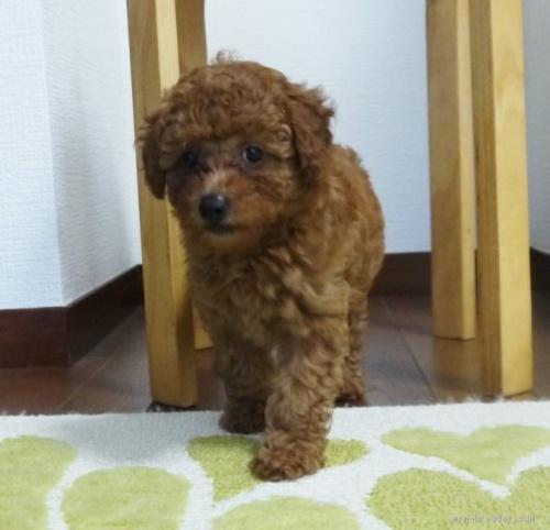 トイプードルの子犬(ID:1251811030)の4枚目の写真/更新日:2020-09-05
