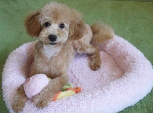 トイプードルの子犬(ID:1251811031)の1枚目の写真/更新日:2017-02-15