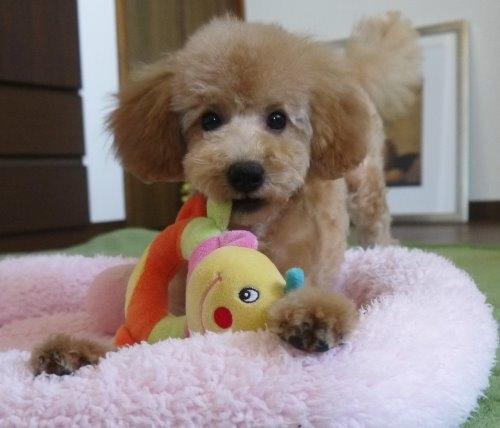 トイプードルの子犬(ID:1251811031)の2枚目の写真/更新日:2017-02-15
