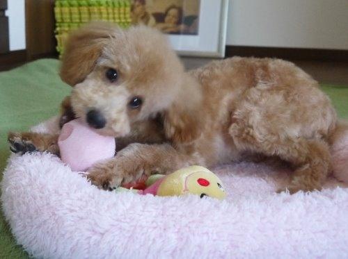 トイプードルの子犬(ID:1251811031)の3枚目の写真/更新日:2017-02-15