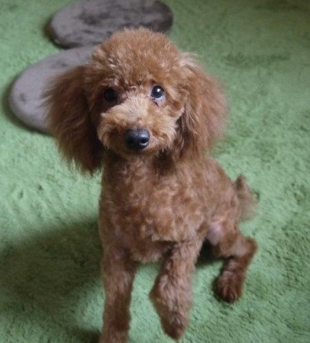 トイプードルの子犬(ID:1251811032)の2枚目の写真/更新日:2017-05-11
