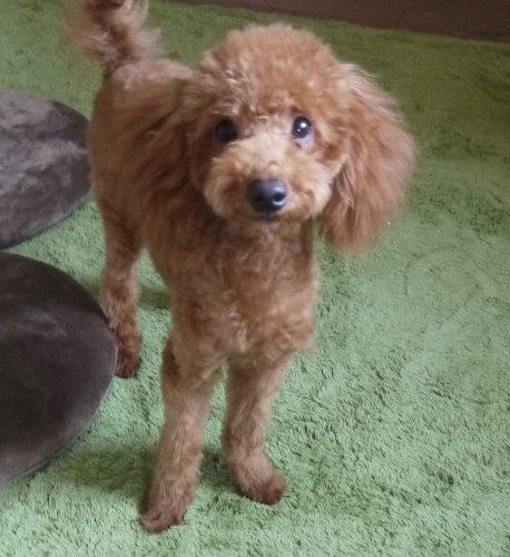 トイプードルの子犬(ID:1251811032)の3枚目の写真/更新日:2017-05-11