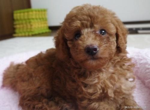 トイプードルの子犬(ID:1251811033)の1枚目の写真/更新日:2017-07-17